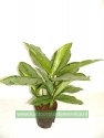 Aglaonema 'Silver Queen'